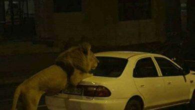 هروب أسد من حديقة الحيوانات بالبلفدير