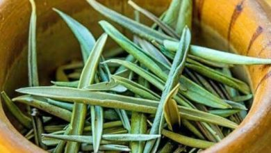 ابحاث علمية جديدة تبين ان اوراق الزيتون تعالج عدة امراض وهذه اهمها .. التفاصيل